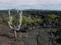 Lava and cactus fields on Punta Moreno