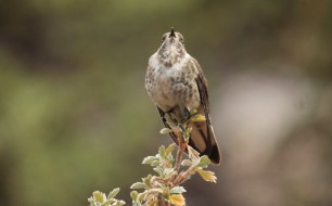 Female Blue-bearded Helmetcrest Photo Stephan Lorenz