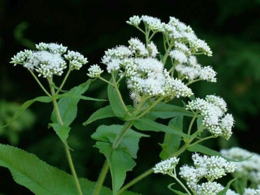 https://i1.wp.com/birdsoutsidemywindow.org/wp-content/uploads/2010/08/flowers_boneset_rsz2_ct-532x400.jpg