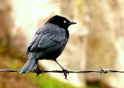Brewer's Blackbird » Bird Watcher's Digest