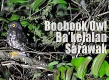 Brown Boobook Bakelalan Sarawak
