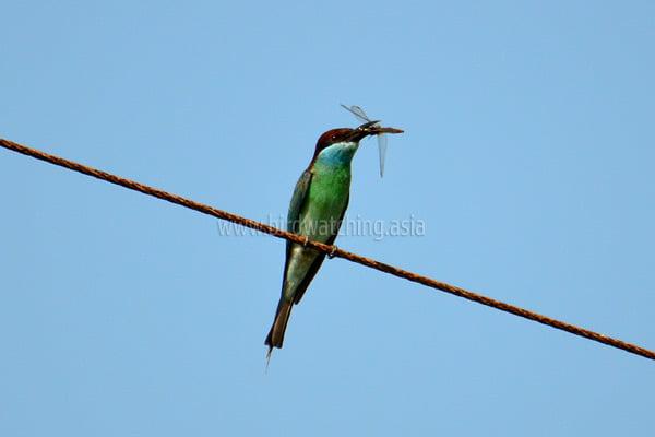 Birdwatching Kuala Baram Wetlands