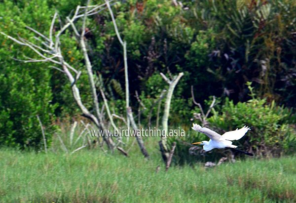 Kuala Baram Wetlands Birds