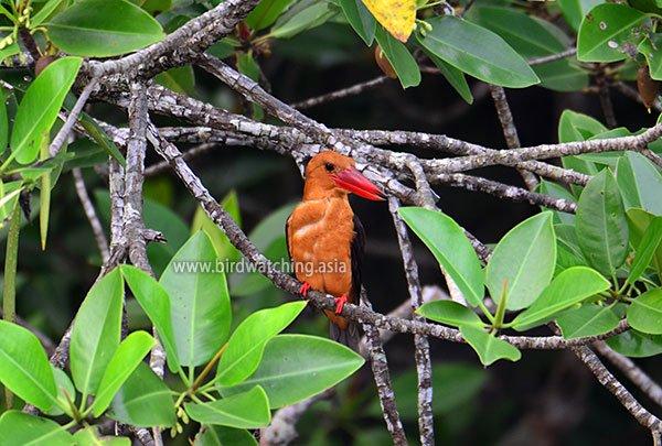 Langkawi Bird Photography