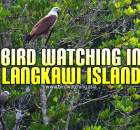 Pulau Langkawi Bird Watching