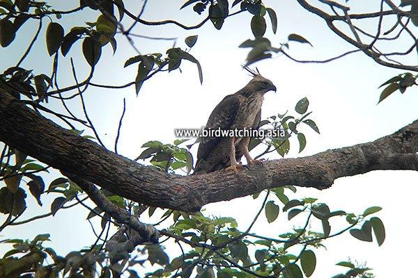 Langkawi Mountain Hawk-eagle