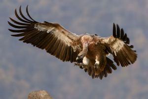 Birdwatching Holidays - International Vulture Awareness Day