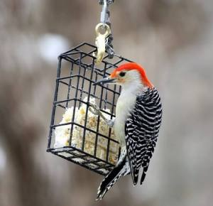 woodpecker on suet basket feeder