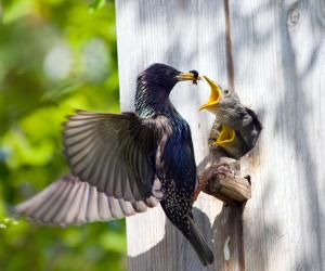 3 Proven Ways To Get Rid of Starlings TODAY