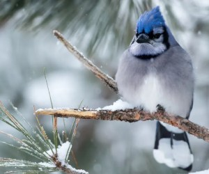 How To Attract Blue Jays (4 Simple Strategies)