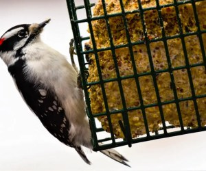 7 Effective Suet Feeders That Attract Woodpeckers!