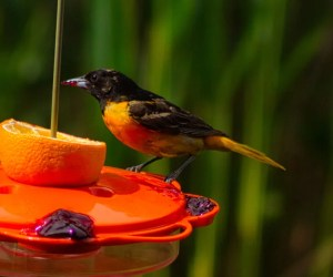Oriole Feeders: The 8 Best To Try This Summer! (2019)
