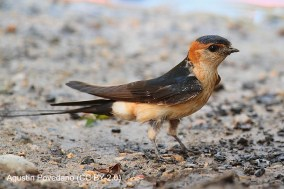 55 Red-rumped Swallow - Birding Murcia