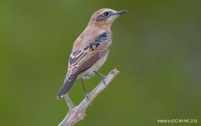 60 Black-eared Wheatear - Birding Murcia