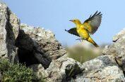 03 Birdingmurcia - Chris Vlachos - Oriolus oriolus