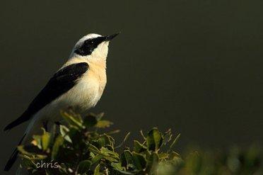 04 Birdingmurcia - Chris Vlachos - Oenanthe hispanica