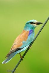 05 Birdingmurcia - Chris Vlachos - Coracias garrulus