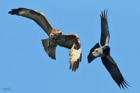 07 Birdingmurcia - Chris Vlachos - Corvus corone cornix