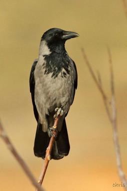 08 Birdingmurcia - Chris Vlachos - Corvus corone cornix