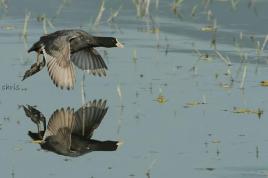 17 Birdingmurcia - Chris Vlachos - Fulica atra