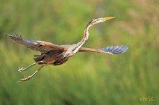 18 Birdingmurcia - Chris Vlachos - Ardea purpurea