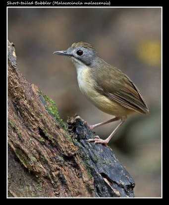 01 BIRDERS ZhongYingKoay - Short-tailed Babbler