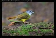 02 BIRDERS ZhongYingKoay - Yellow-bellied Bulbul