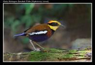 03 BIRDERS ZhongYingKoay - Male Banded Pitta