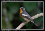 10 BIRDERS ZhongYingKoay - Male Mugimaki Flycatcher
