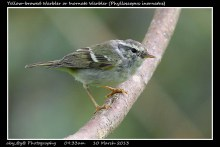 15 BIRDERS ZhongYingKoay - Yellow-browed Warbler