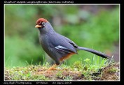 20 BIRDERS ZhongYingKoay - Chestnut-capped Laughingthrush