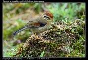 21 BIRDERS ZhongYingKoay - Rufous-winged Fulvetta