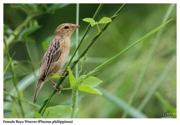 44 BIRDERS ZhongYingKoay - Female Baya Weaver