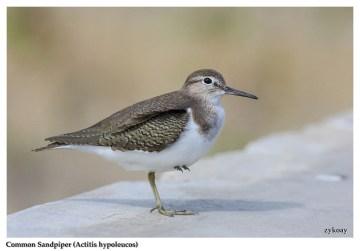 46 BIRDERS ZhongYingKoay - Common Sandpiper