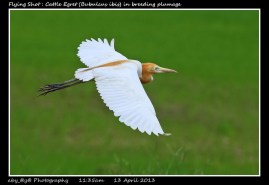 49 BIRDERS ZhongYingKoay - Flying Cattle Egret in Breeding Plumage