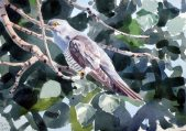 04 Szabocs Kokay - birdingmurcia