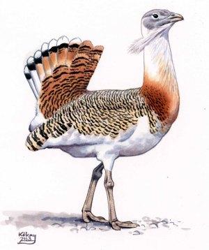 19 Szabocs Kokay - birdingmurcia