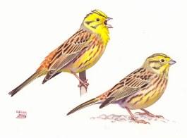 21 Szabocs Kokay - birdingmurcia