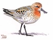 24 Szabocs Kokay - birdingmurcia