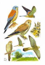 26 Szabocs Kokay - birdingmurcia