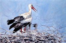 36 Szabocs Kokay - birdingmurcia