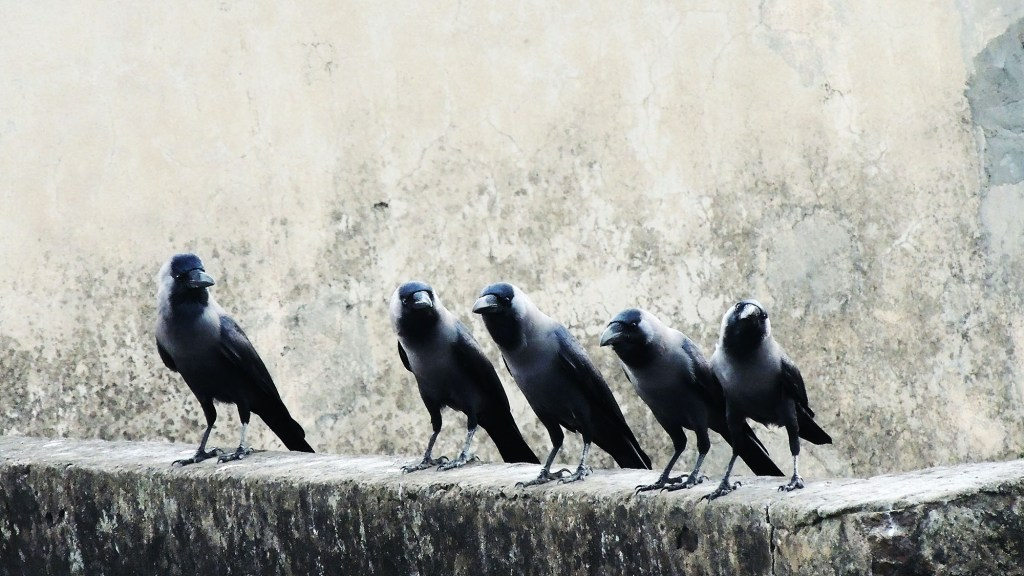 Do Crows Kill Pigeons