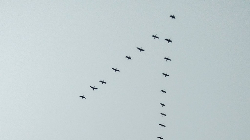 Why Do Birds Fly in a V Formation