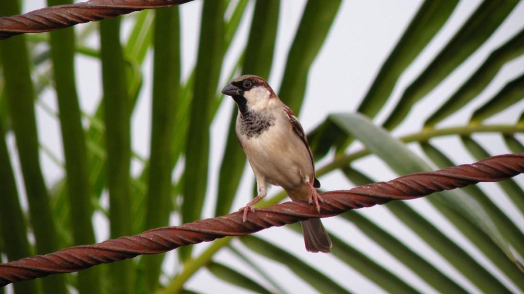 Do House Sparrows Eat Sunflower Seeds