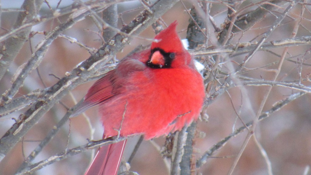 What Do Cardinals Do in the Winter