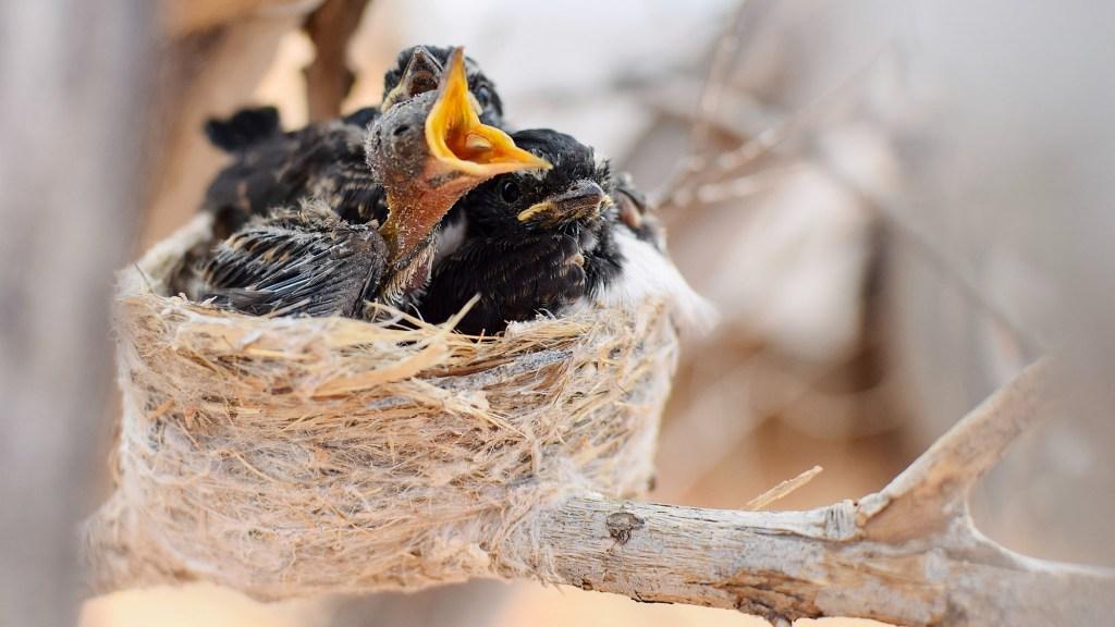 why do baby birds die in the nest