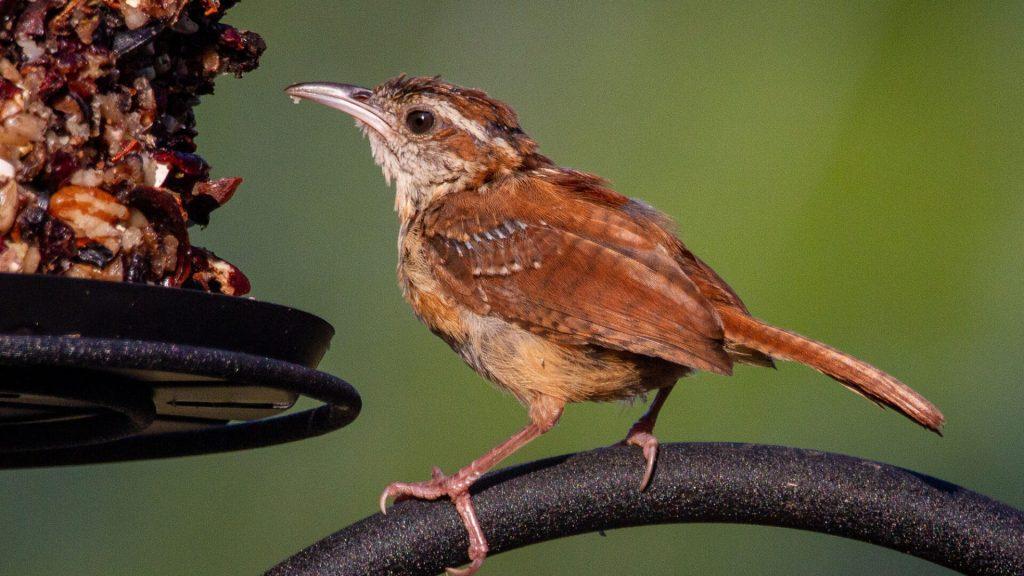 do Carolina Wrens reuse their nests