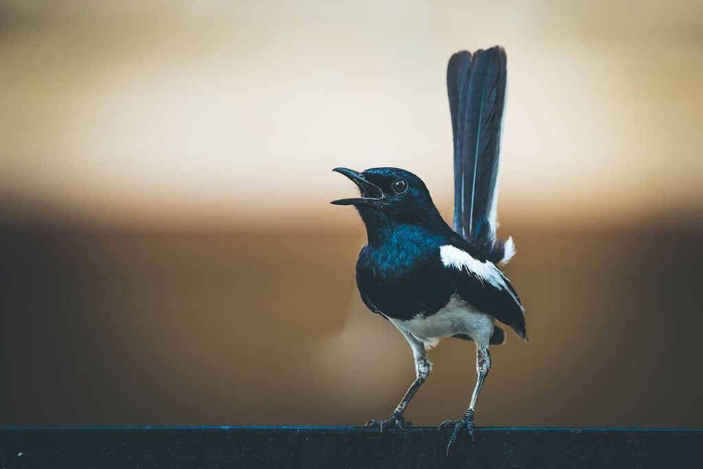 how to stop magpies singing at night