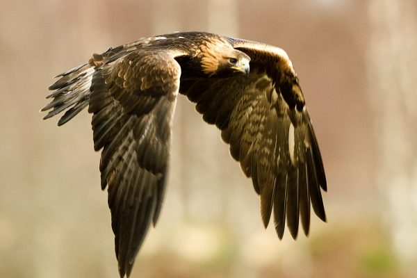 Golden Eagle Birdwatch Ireland
