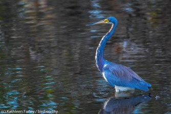 Vibrantly colored Tricolored Heron. Photo taken on January 5, 2015 with a Nikon 3200 Sigma 500mm.
